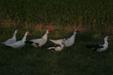 Фото #6 - Мускусная утка